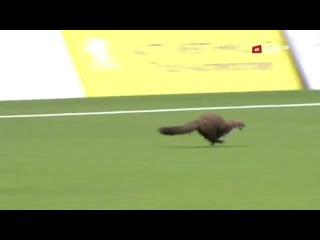 Хорек выбежал на поле во время футбольного матча